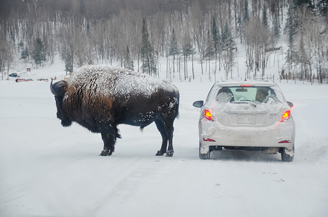 ParcOmega_Bison