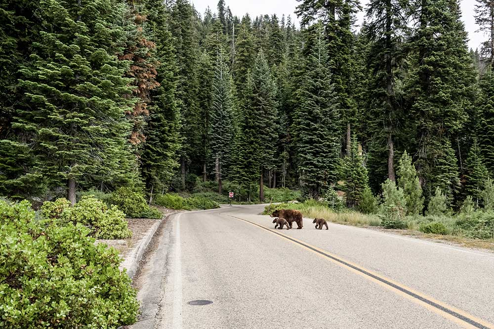 Observer grizzlis - Activité plein air été