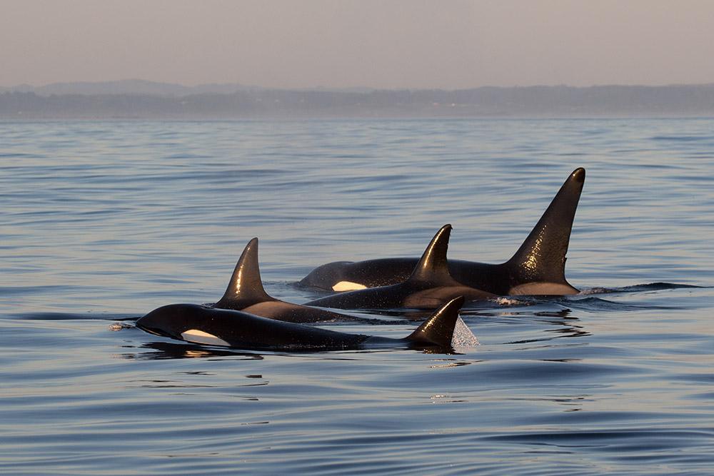 Observer Orque Vancouver - Eté